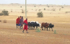 0773 - Masai taking cattle to market