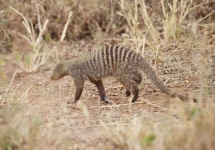 0949 - Banded Mongoose