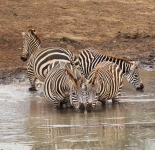 1004a - Zebras cool off