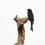 1184 - Swallow tailed Drongo