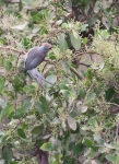1203 - Blue naped Mousebird