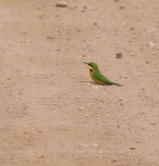 1238 - Common Bee eater