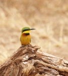 1298 - Common Bee eater
