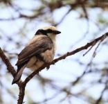 1339 - Northern White-Crowned Shrike