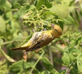 1356 - White Bellied Canary
