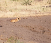 1464 - Lioness in sand pit