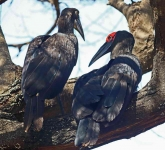 1518 - Southern Ground Hornbil with chickl