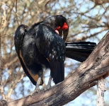 1586 - Southern Ground Hornbill