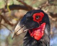 1607 - Southern Ground Hornbill