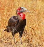 1616 - Southern Ground Hornbill
