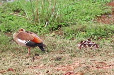 1861 - Egyptian Goose brood