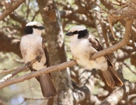 2216 - Northern White backed Shrike pair