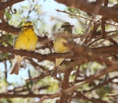 2274 - Yellow fronted Canary