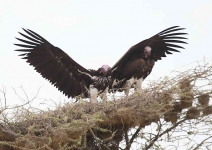 2345 - Pair Lappet faced Vultures on nest