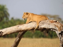 2400 - Lioness resting