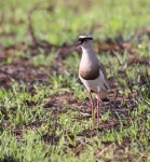 2451 - Crowned Plover