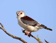 2527 - Pygmy Falcon - female