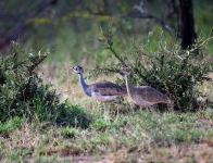2799 - Pair of White Bellied Bustards