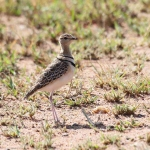 2831 - 2 banded Courser