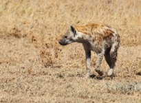 2908 - Spotted Hyena