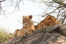 2965 - Lionesses resting up