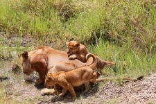 3085 - Lioness and cubs