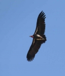 3399 - Lappet faced Vulture overhead