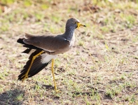 3734 - African Wattled Plover