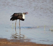 3774 - Woolly Necked Stork