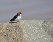 3812 - Wire-tailed Swallow