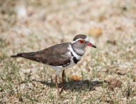 3826 - Three-banded Plover