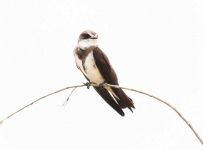 3927 - Banded Martin