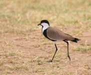 3958 - Spur-winged Plover