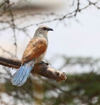 3975 - White Browed Coucal