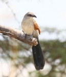 3985 - White Browed Coucal