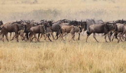 4063 Wildebeasts on the move