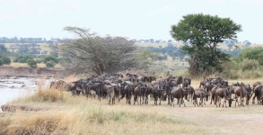 4073 - Wildebeasts look for a crossing site