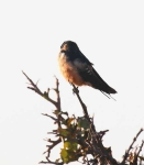 4111 - Rufous Chested Swallow