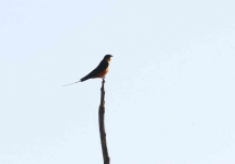 4114 - Rufous Chested Swallow Swallow
