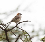 4237 - Speckle fronted Weaver