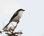 4389- Long tailed Fiscal Shrike