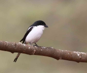 4399 - Long tailed Fiscal Shrike