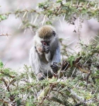 4404 - Young Vervet monkey without nose