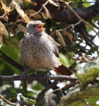 4553 - Rufous Tailed Weaver chick