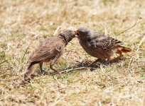 4569 - Rufous Tailed Weaver feeds chick