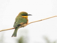 4954 - Common Bee-eater