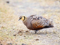 5048 - Yellow Throated Sand Grouse