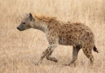 5120 - Spotted Hyena
