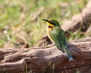 5218 - Common Bee Eater