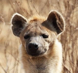 5226 - Spotted Hyena